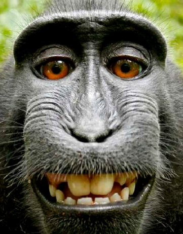 The Mysterious Case of the Monkey Selfie