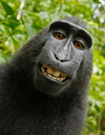 More Monkey Business: Copyright and the World's Most Famous Monkey Selfie