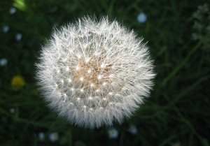 800px-Dandelion_seed_head_(Taraxacum_officinale)[1]